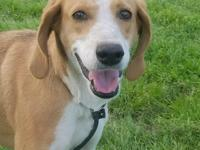 Ruby is a beautiful female Walker Hound that is
