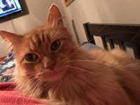 Rudy is a RED DOMESTIC MEDIUM HAIR.  He is 4 years old,