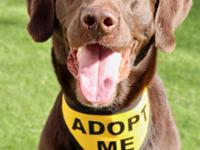 Rudy is a 5 year old Chocolate Labrador that was an