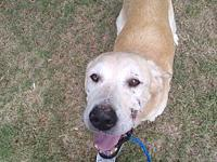My story RUDY is a 9-year-old neutered male yellow lab.
