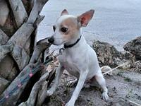 Ruff's story Ruff is a 2 year old Rat Terrier/Chihuahua