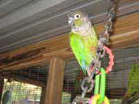 Ruffles is a beautiful , healthy Green-Cheek Conure .