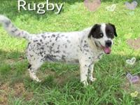 Rugby's story This handsome Spaniel mix is Rugby, a