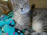 Rugen is a handsome grey tabby polydactyl fellow with a