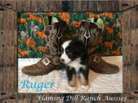 Ranch Raised ASDR Toy / Mini Aussie Puppies. Ruger ~