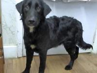 Ruger's story 18-D09-012 Ruger Breed: Flat Coated