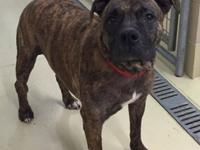 Ruger is a mellow, 6-8 year old pit bull mix who is
