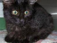 Russian Blue - Anna - Small - Baby - Female - Cat Anna