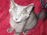 Russian Blue - Asher - Large - Baby - Male - Cat Asher