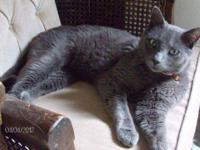 Russian Blue - Baldwin - Medium - Adult - Male - Cat
