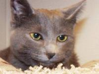 Russian Blue - Blu - Medium - Young - Male - Cat Meet