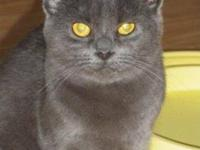 Russian Blue - Blue - Medium - Young - Female - Cat