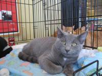 Russian Blue - Boo Kitty - Medium - Baby - Male - Cat