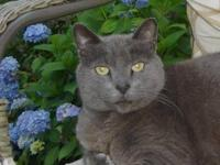 Russian Blue - Charlie - Large - Senior - Male - Cat