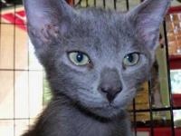 Russian Blue - Chico - Small - Baby - Male - Cat Chico
