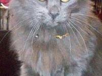 Russian Blue - Curley - Medium - Adult - Female - Cat