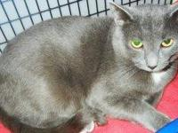Russian Blue - Danny - Medium - Adult - Male - Cat