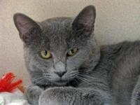 Russian Blue - Darwin - Medium - Baby - Male - Cat
