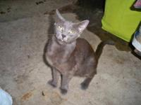 Russian Blue - Ernestine - Medium - Young - Female -