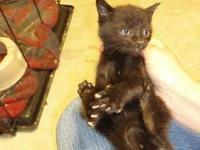 Russian Blue - Feral Kitten - Small - Baby - Male -