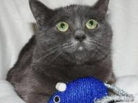 Russian Blue - Gabby - Medium - Adult - Male - Cat