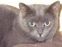 Russian Blue - Garbo - Medium - Adult - Female - Cat