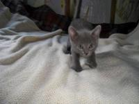 Russian Blue - Glimmer - Medium - Baby - Female - Cat