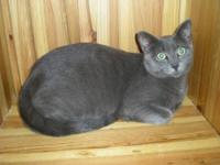 Russian Blue - Halcyon - Small - Adult - Male - Cat
