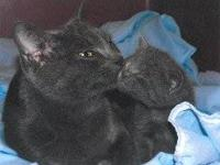 Russian Blue - Hazaa - Medium - Baby - Male - Cat