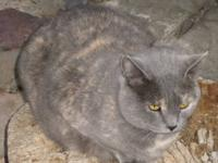 Russian Blue - Jingle - Large - Young - Female - Cat