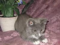 Russian Blue - Kitten - Medium - Baby - Male - Cat It