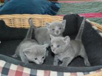 Purebred Russian Blue kittens short hair, lush coats,