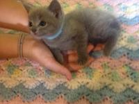We have a litter of 3 Russian Blue kittens. They were