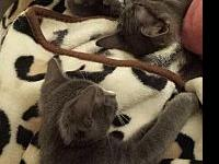 Russian Blue Kittens's story Please contact Lyn