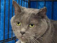 Russian Blue - Layla - Large - Adult - Female - Cat