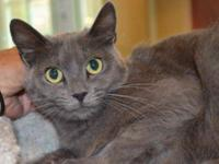 Russian Blue - Lissa - Small - Young - Female - Cat