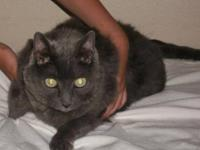 Russian Blue - Mia - Large - Adult - Female - Cat Every