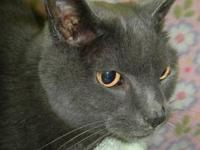 Russian Blue - Milo - Medium - Adult - Male - Cat This