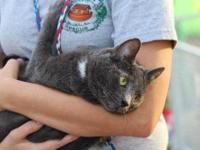 Russian Blue - Miss Kitty - Medium - Adult - Female -
