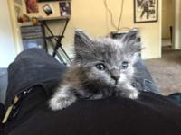 Female 8 week old, Russian Blue and Persian mix. This