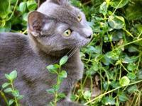 Russian Blue - Moses - Small - Baby - Male - Cat Moses