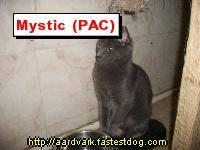 Russian Blue - Mystic - Small - Adult - Female - Cat