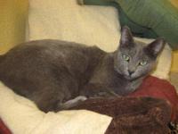 Russian Blue - Pasha - Medium - Adult - Female - Cat