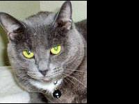 Russian Blue - Penny - Medium - Adult - Female - Cat