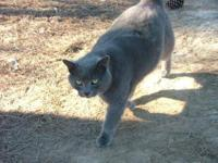 Russian Blue - Postie - Small - Adult - Female - Cat