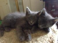 Russian Blue Ragdoll Kittens