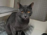 Russian Blue - Shadow - Large - Adult - Male - Cat Hi I