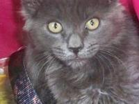 Russian Blue - Shadow - Medium - Baby - Male - Cat I am