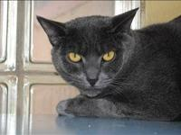 Russian Blue - Shadow - Medium - Young - Male - Cat