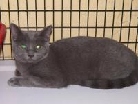 Russian Blue - Silverbell - Medium - Young - Female -